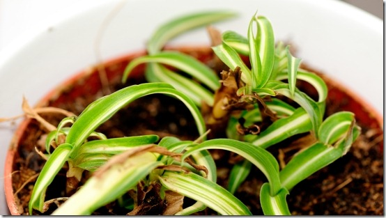 White stripe spider plant